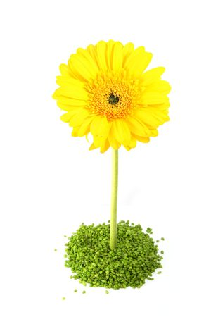 Beautiful Yellow Gerber Flower isolated on white.