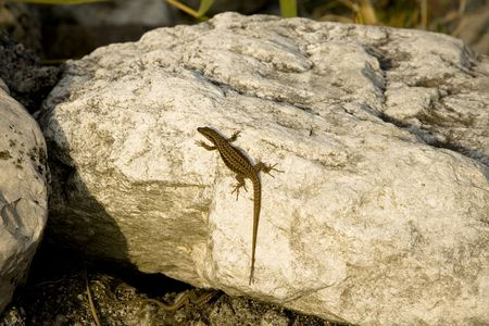 Lizard and Stone