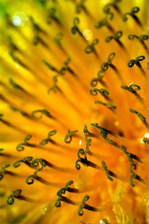 Amazing Close-up of Yellow Dandelion (Zoom 5x)