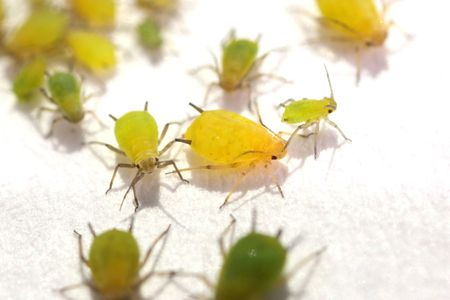 Green Aphids on white floor
