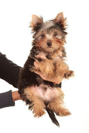 Yorkie puppy isolated on white background (Studio Shot)  Stock Photo