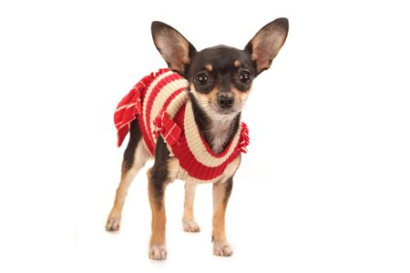 Funny Toy Terrier wearing red outfit isolated on white background