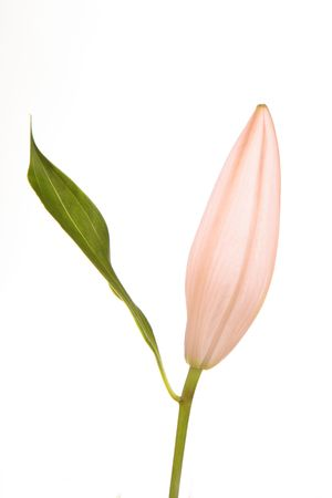 Rose Lily isolated on white background
