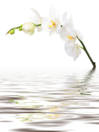 White Orhid on white background with reflection