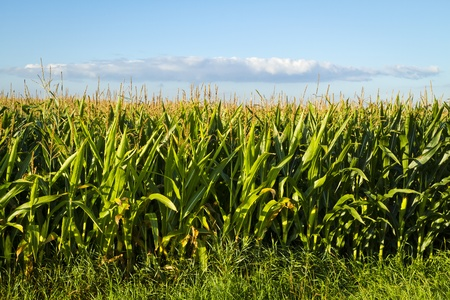Corn growing in early morning light with thin cloud hovering over the top. photo