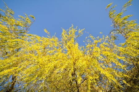 A Weeping Willow in autumn colours.