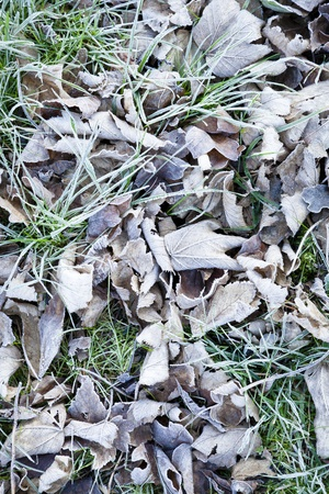 Frost covering dead leaves and old grass Stock Photo - 12076691
