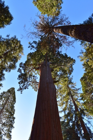 Giant Sequoia trees in Kings Canyon, California, Feb 2018