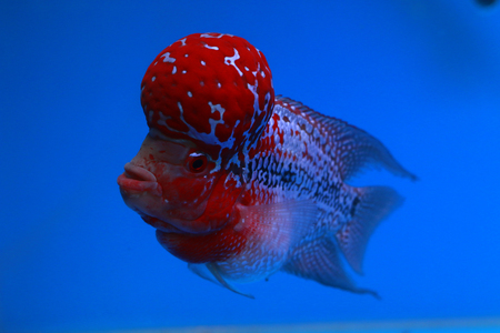 Cichlids in the box, Thailand Stock Photo