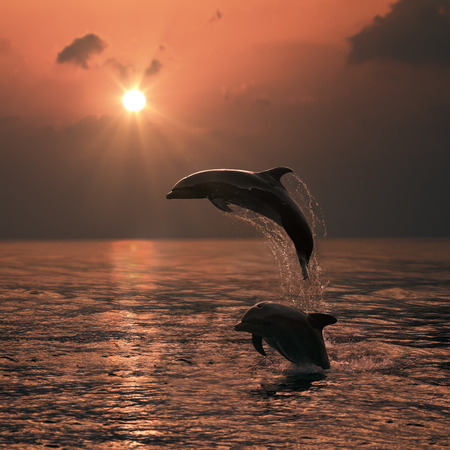 bottlenose: Beautiful Leaping Dolphin bumping from sunset orange sea Stock Photo
