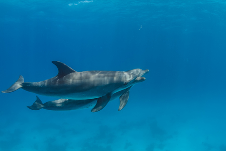 Wild Bottlenose Dolphins In Red Sea