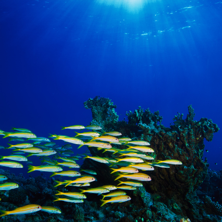 sardine: fish shoal swimming over beautiful coral reef under reflecting water surface with sunrays in corner Stock Photo