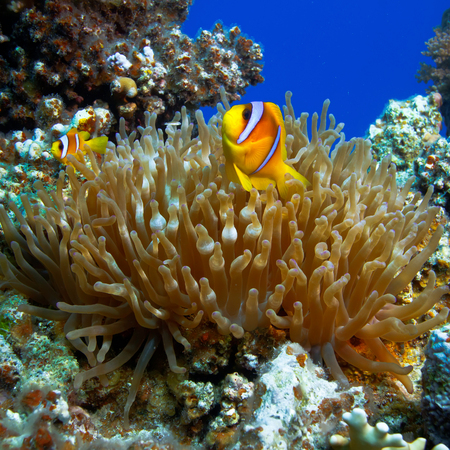 underwater photo coral garden with anemone and a pair of yellow clownfish dad and son Stock Photo