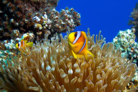 bajo el agua foto del jardín de coral con la anémona y un par de peces payaso amarillo padre e hijo