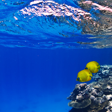chaetodon: beautiful underwater abstract pattern coral reef and a pair of yellow butterfly fishes Stock Photo