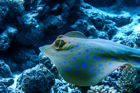 fantail: Bluespotted stingray floatin underwater over corals. Red sea fish. Closeup portrait.