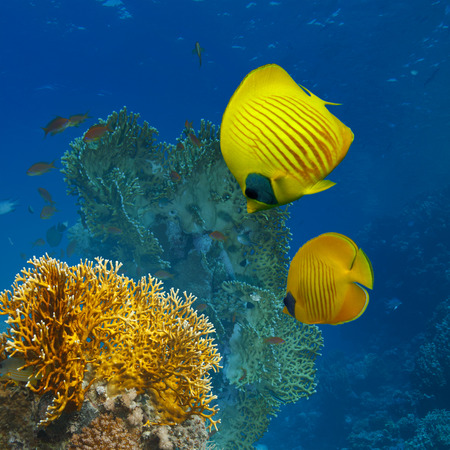 butterfly fish: underwater scenery abstract coral garden and yellow butterfly fish Stock Photo