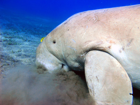 harmless: Red sea, dugong in cloud sand looking for seafood trough sea grass Stock Photo