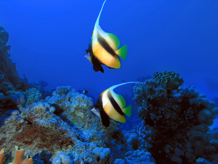 reefscape: Underwater life, Red sea and two bannerfish from Nemo cartoon movie in blue background of deep water