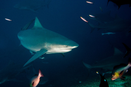 bull shark: The big Bull shark from Pacific ocean at 30 meters depth