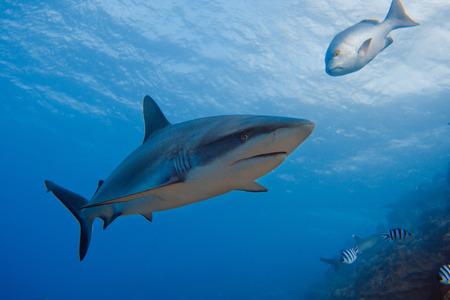 Grey Reef Shark in Deep Blue Water of Pacific Ocean in Fiji