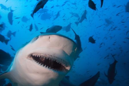 bull shark: Big Shark Closeup Portrait. Taken in Fiji. Pacific ocean Marine Life. Bullshark with open Jaws