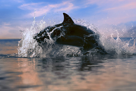dolphin jumped from and into water surface at the sunset time