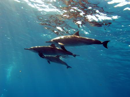 porpoise: the family of three whitesided-bottlenose dolphins underwater on blue aquatic background Stock Photo