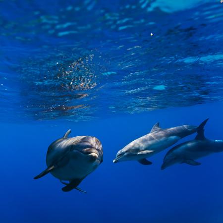 수중 sunrays에서 놀고있는 돌고래의 작은 무리 스톡 콘텐츠