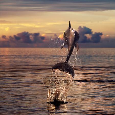 아름다운 돌고래는 일몰 시간에 watrer에서 뛰어 스톡 콘텐츠