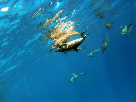 A pair of Spinner dolphins in Red Sea Marsa Alam