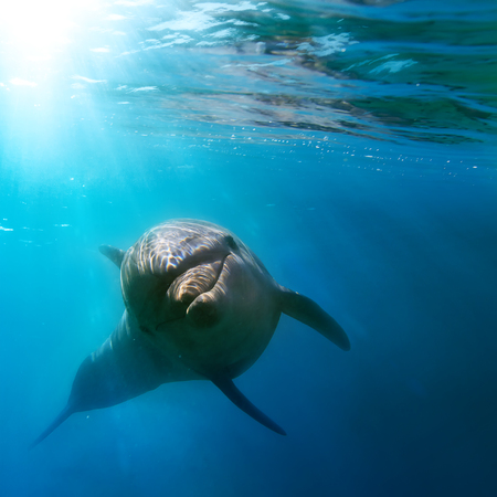 tropical seascape with wild dolphin swimming underwater close the sea surface between sunrays