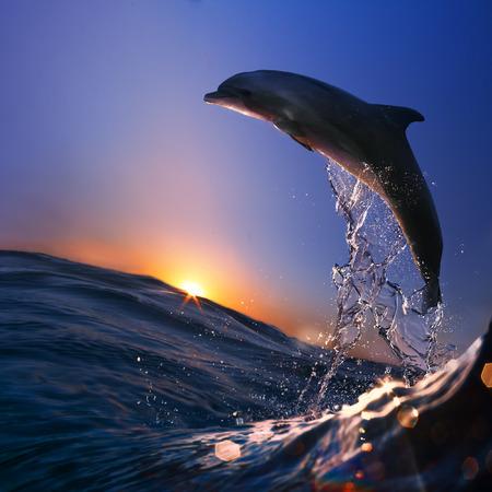 아름 다운 돌고래 일몰 시간에 바다 물결에서 뛰어.