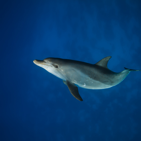 under the surface: Red sea diving. Wild dolphin underwater swimming under surface with reflection Stock Photo