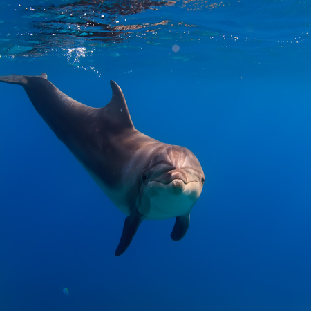 Wild Dolphin In Open Sea Alone. Water Surface with reflection. Red Sea Marine Life Design Template