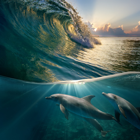 hawaiian beautiful dolphins playing under ocean breaking surfing wave
