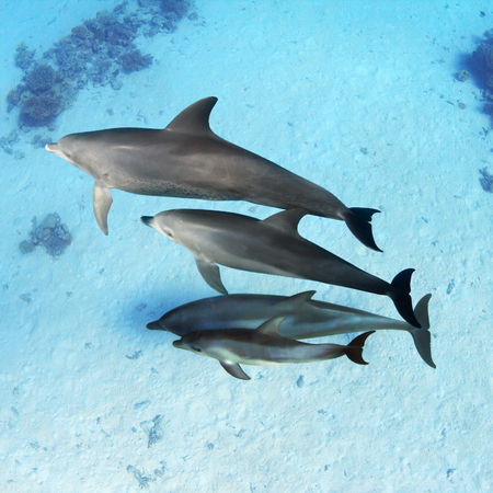 Family of Wild Dolphins underwater in Red Sea