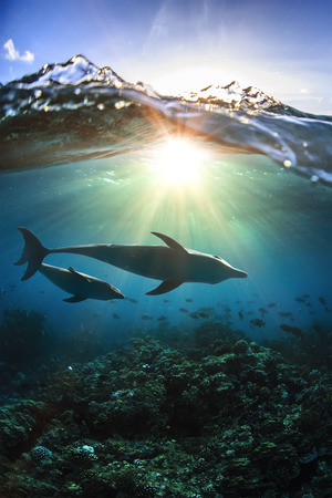 Two dolpphins mothher and baby dolphin swimming under water line in wild ocean. Silhouettes infront of sun.