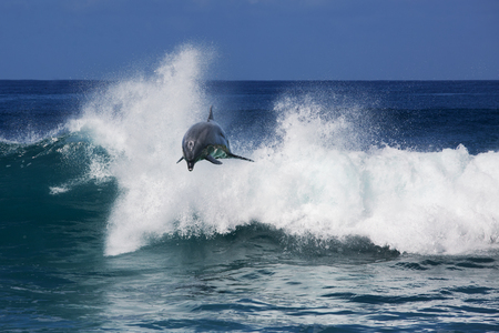 A wild dolphin jumping from ocean and over a shorebreak wave. Tropical marine life animals. For natural design. Stock Photo