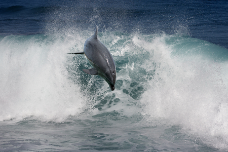 shorebreak: A wild dolphin jumping from ocean and over a shorebreak wave. Tropical marine life animals. For natural design. Stock Photo