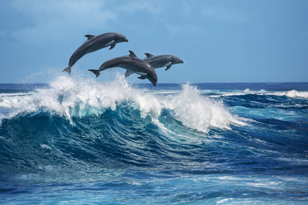 Three beautiful dolphins jumping over breaking waves. Hawaii Pacific Ocean wildlife scenery. Marine animals in natural habitat. Stock Photo