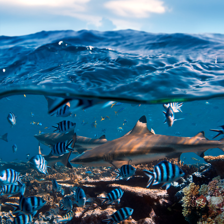menacing: beautiful seaview waterline waves in a shallow and sharks swimming by corals Stock Photo