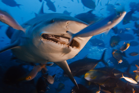 Bull shark with prey in its mouth from Pacific ocean in dynamic mix with many other fish shouted at thirty meters depth