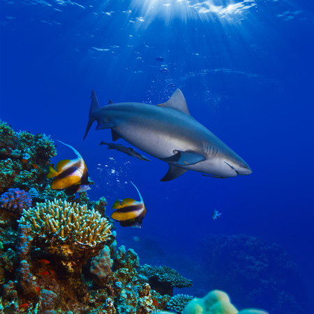 colorful underwater coral reef with yellow stripped fish and big angry hungry shark