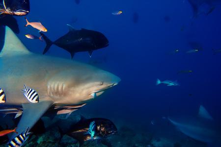 bull shark: The big Bull shark from Pacific ocean at 30 meters depth