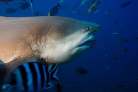 bull shark: The big Bull shark going to open mouth and shifting jaws forward with teeth