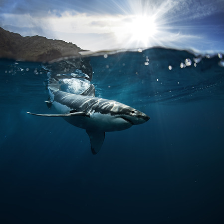 Great White Shark known as carcharodon carcharias