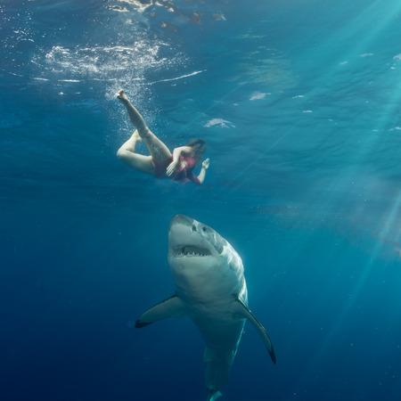 그레이트 화이트 상어 공격 수영