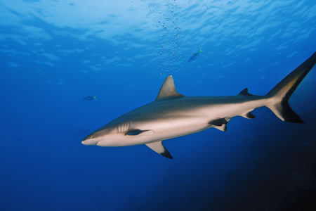 emery: Grey Reef Shark swims serenely in the blue water looking for a delicious food