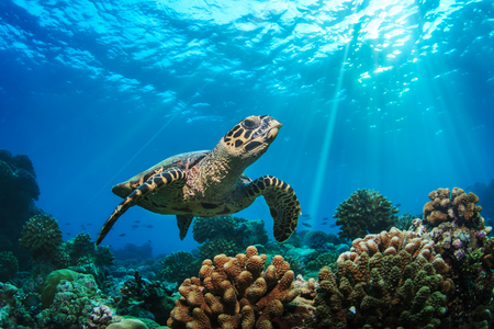 Underwater wildlife with animals, Divers adventures in Maldives. Sea turtle floating over Coral reef with water surface.